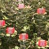 Au 0479 Banksia coccinea