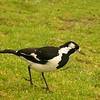 Au 0949 Magpie-lark