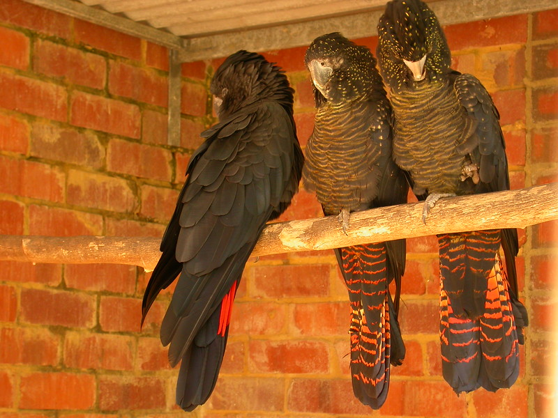 Au 1751 Red-tailed Black-Cockatoo