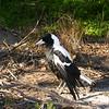 Au 0525 Australian Magpie