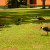 Au 2336 Straw-necked Ibis