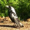 Au 0528 Australian Magpie
