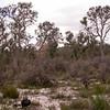 Au 0970 Banksia laricina & burdettii in Moore River NP