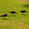 Au 2339 Straw-necked Ibis