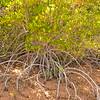 Au 2063 Broome, mangrovebos