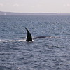 Au 0457 Southern Right Whale
