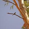Au 2220 Rainbow Bee-eater
