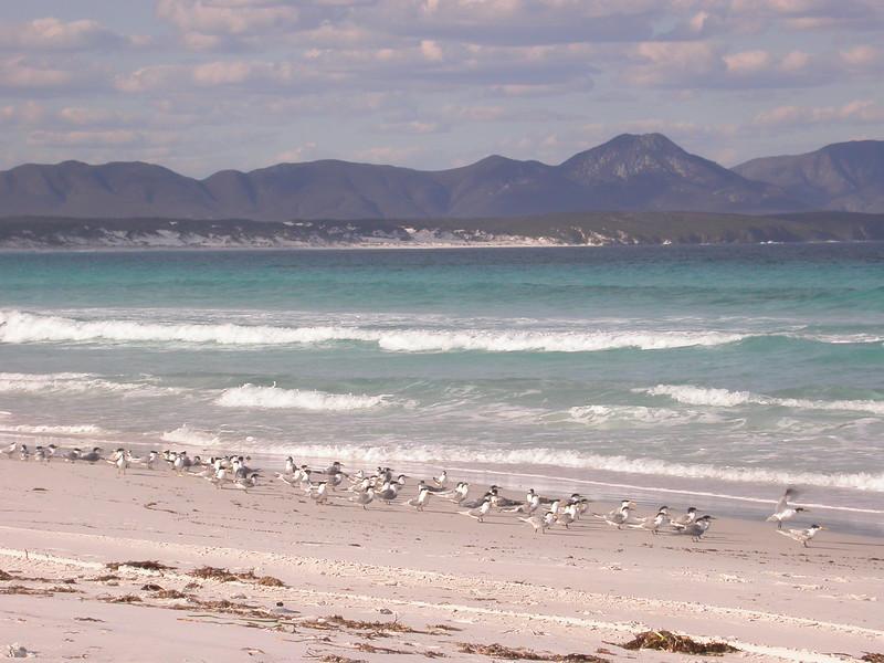Au 0627 Crested Terns op strand Point Ann