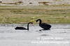 Black Swans, Otago Harbor.