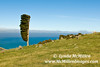 Wind shaped tree and sheep on Akaroa hilltop (landscape)