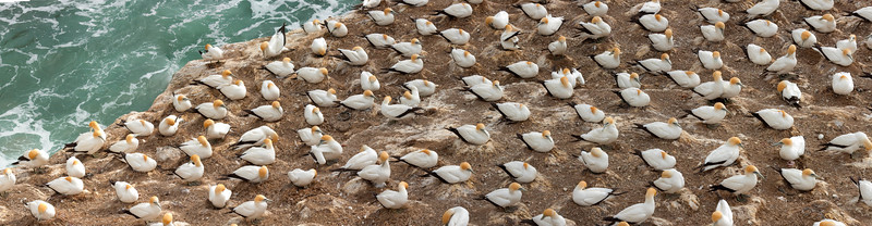 Australian gannet colony at Muriwai, New Zealand