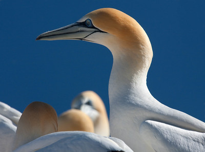 Australian gannet colony at Cape Kidnappers, New Zealand