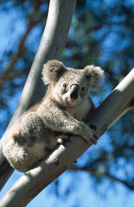 Koala in Eucalyptus tree, Warrambungle National Park