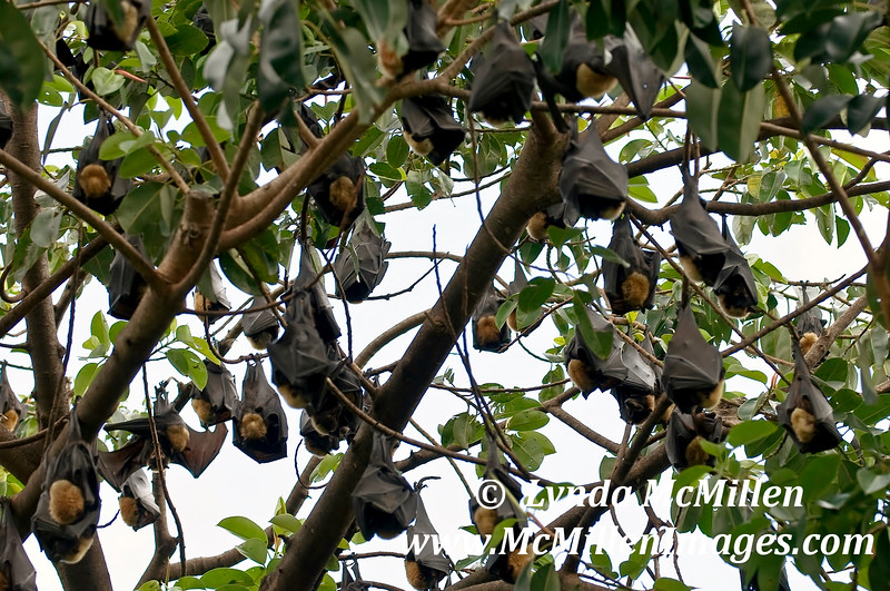 """""""Flying Foxes"""" in Cairns."""