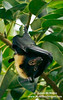 "These ""flying foxes"" (aka fruit bats) are the size of cats!!"