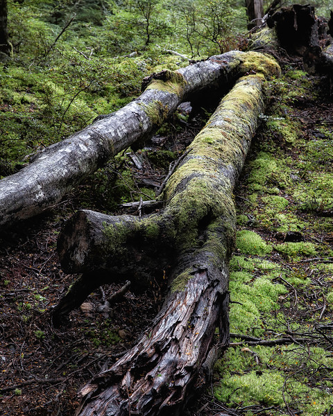 Just feet from the lake an old growth forest dense with moss and trees of all ages
