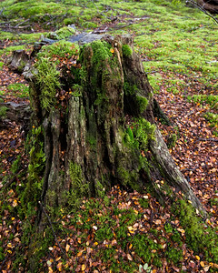 A moss covered old stump in the dense wet forest