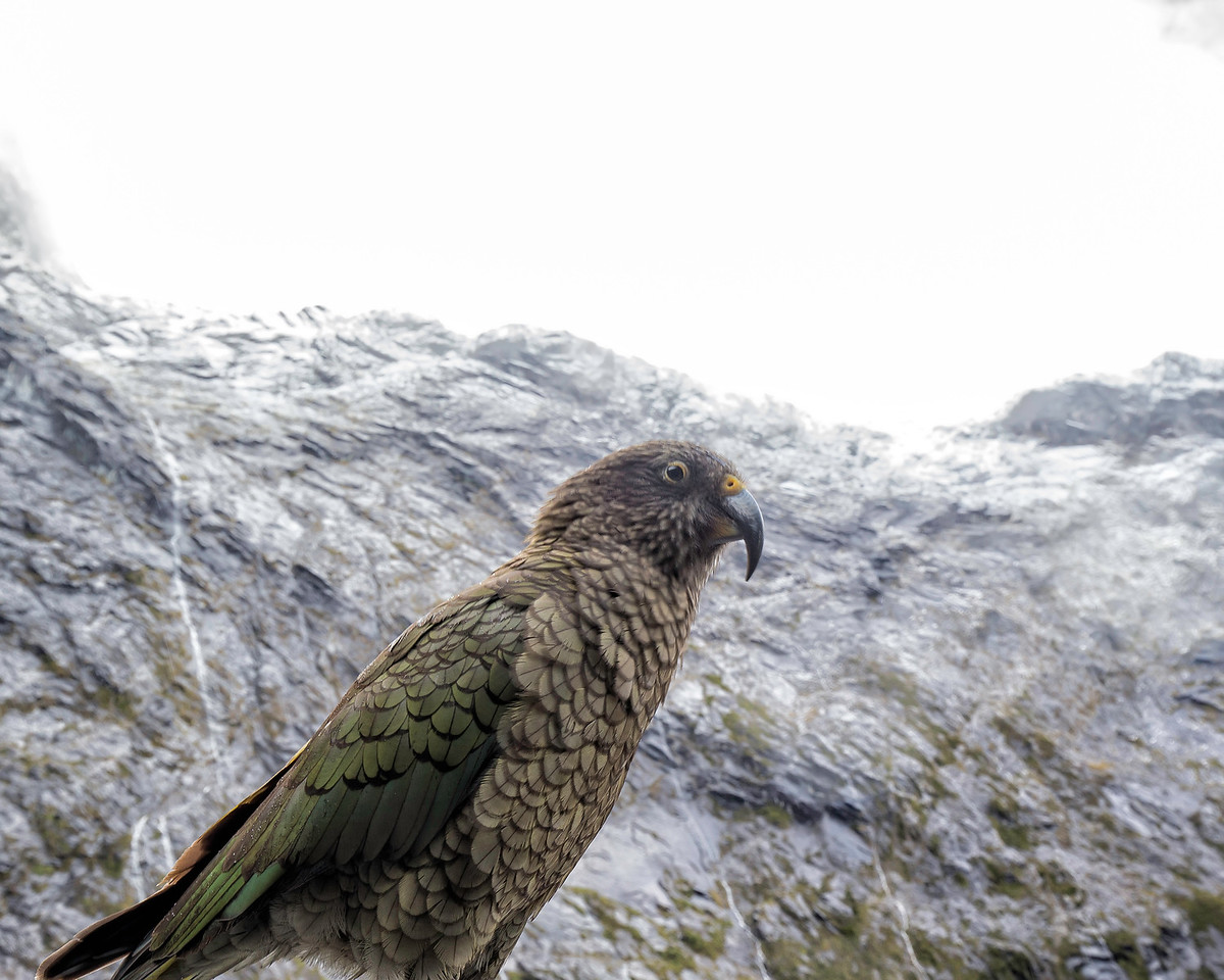 A Kea poses dramatically on the West Coast near Milford Sound