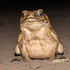 Cane toad, Bamurru Plains.  These toads were brought to Australia and have become a poster child for disaster caused by bad ecological choices.  The toads are poisonous to eat and are killing many endangered small animals.