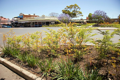 The yellow flowers in the foreground are Kangaroo Paws; the blue flowered trees are Jacaranda.