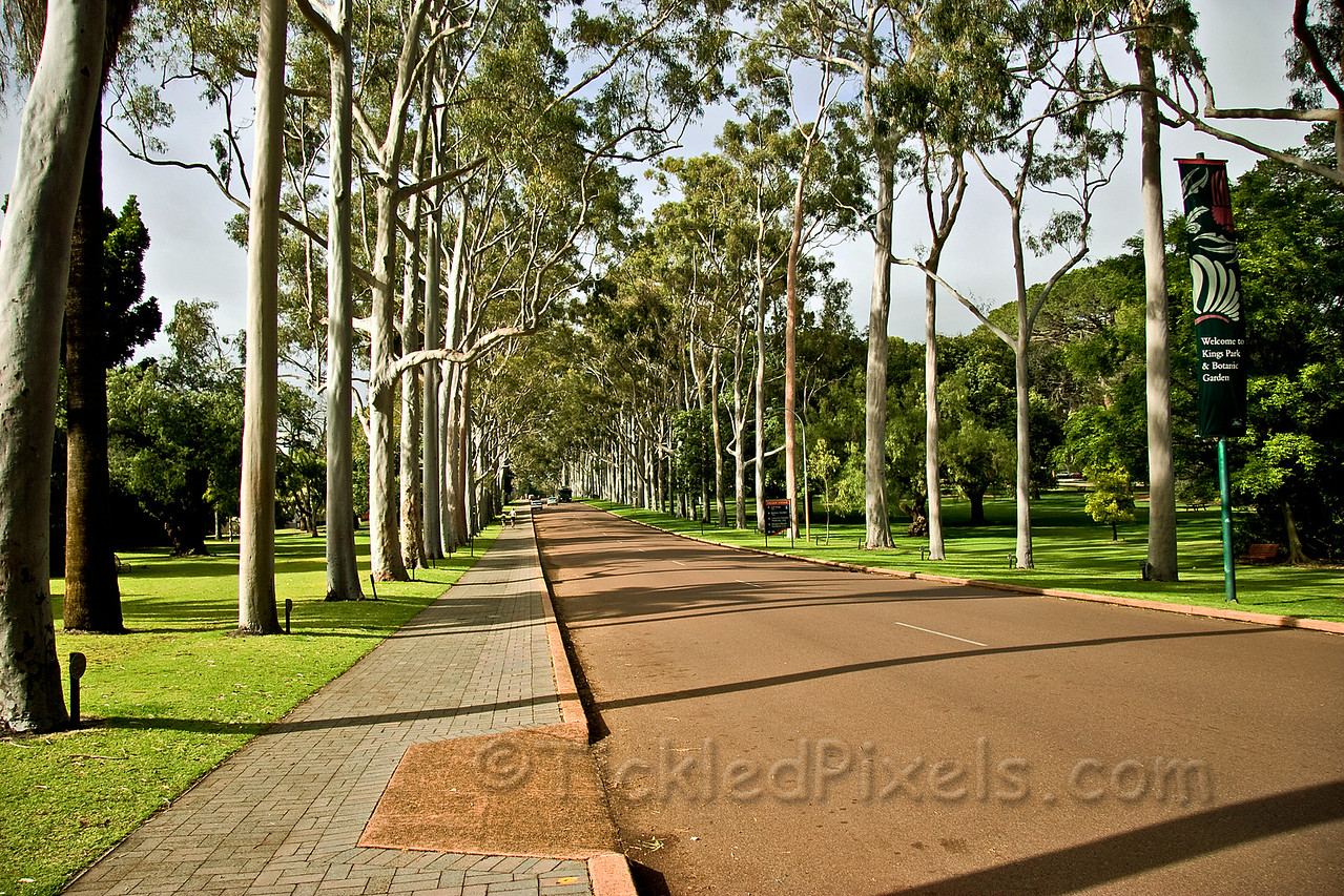 Ghost Gums Line the Fraser Avenue Entrance to King's Park, Perth