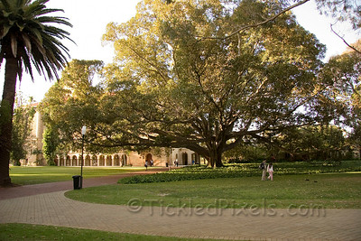 Morton Bay fig at the U of WA