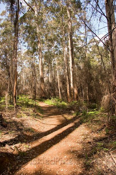 Karri Trees in Gloucester National Park