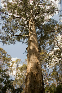 The Gloucester Tree in Gloucester National Park