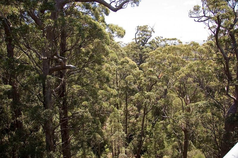 The Tree Top Walk Through the Canopy of the Tingle Forest