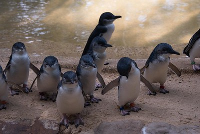 Blue Penguins - Featherdale Wildlife Park