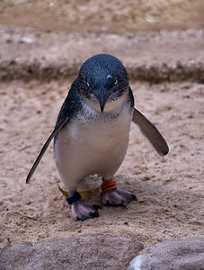 Blue Penguin - Featherdale Wildlife Park