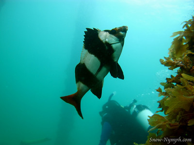 Feb 19, 2011  Rapid Bay Jetty, last 2 dives for certification (Fleurieu Penninsula, SA, AU)
