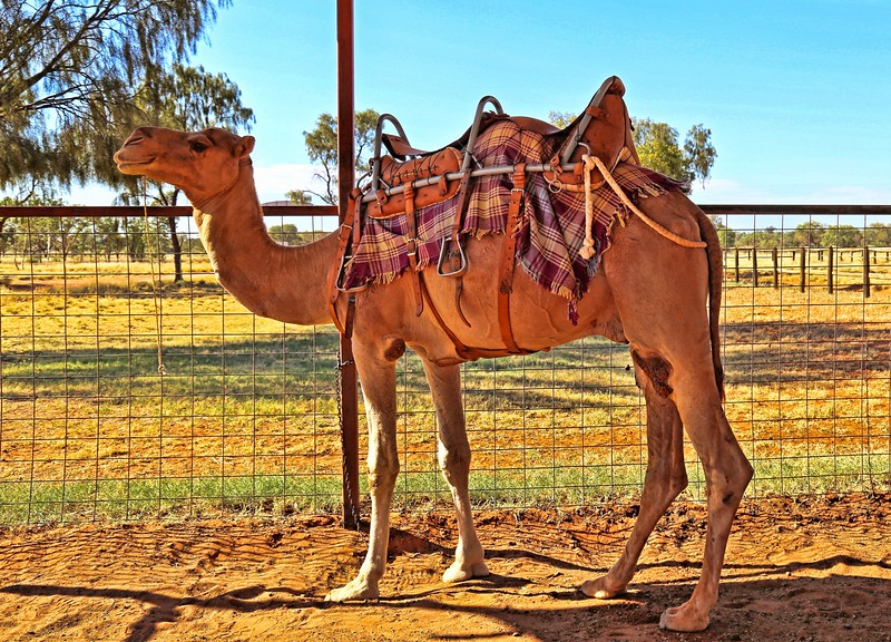 Australia is the largest camel exporter in the world.