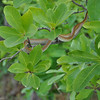 Small harmless snake scurries away as we approach in our motorboat on the Yellow Waters Wetlands in Kakadu.