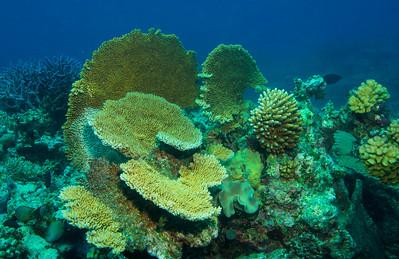 Coral Burst