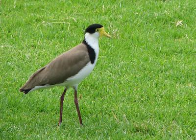 IMG_7238 botanic gardens-bird