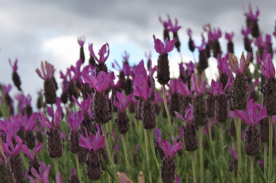 Lavender at Launceston
