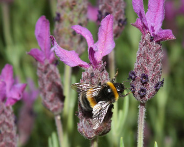 Bee on Lavender Flower, Launceston