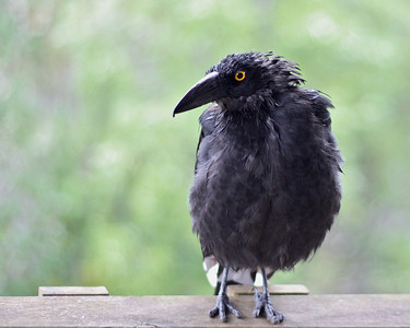 An Unexpected Visitor at our Cottage. Seto thinks its a Currawong