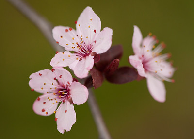 Plum blossoms, or so we're told