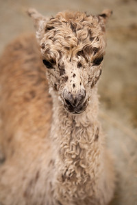 This Alpaca is only one day old.