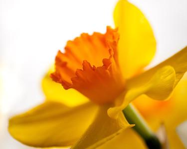 Kyneton Daffodil Festival