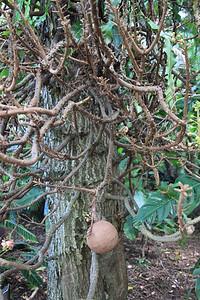 Armatnie drzewo