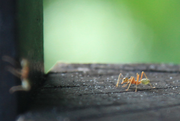 Duże mrówki