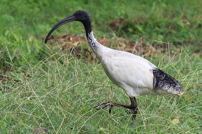 Ibis czarnopióry