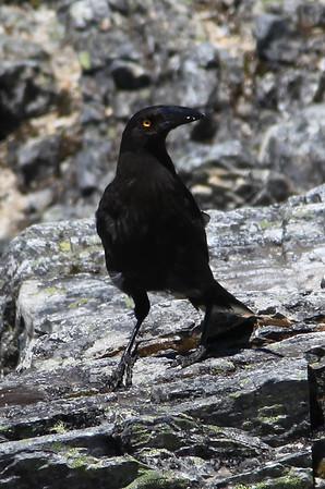 Ptasior - złodziej