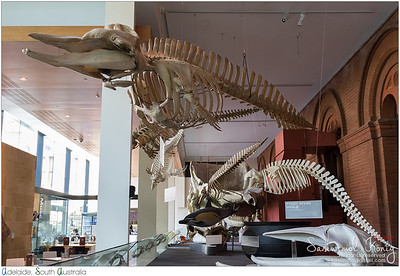 Male Pygmy Sperm Whale - found near Victor Harbour, South Australia. (Collected in March 9, 2003)