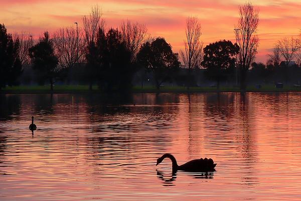 Black Swans on Albert Park Lake 5. Looking west