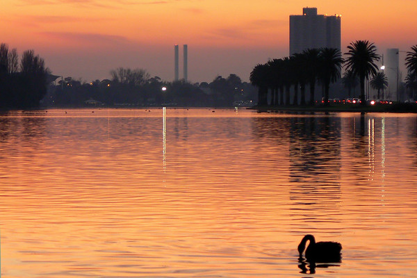 Black Swans on Albert Park Lake 4. Looking west. The thin towers of the Bolte Bridge in the background.