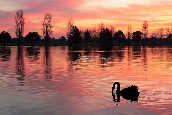 Black Swans on Albert Park Lake 1. Looking west